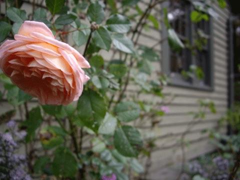Lastrose
